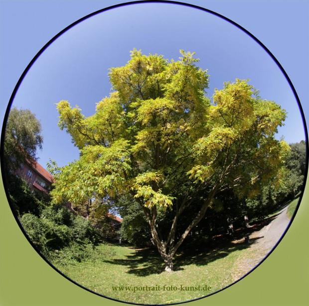 Fisheye Foto- (8-mm). Ein Baum im Herbst.